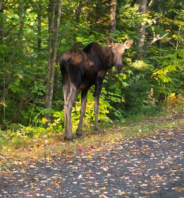 Moose on the Trail